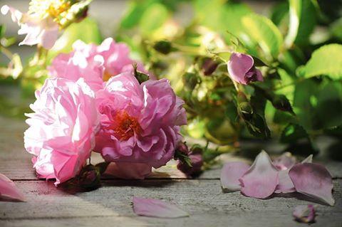 rosa due.jpg